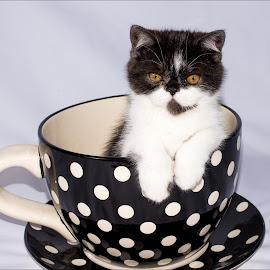 Hello world by Richard Ryan - Animals - Cats Kittens ( cat, kitten, persian )