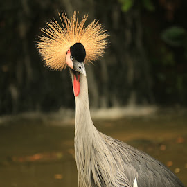 Beautiful Crown by Michael Loi - Novices Only Wildlife ( crown, beautiful, sg, bird park,  )