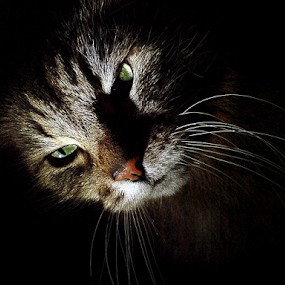 *** by Jurijs Ratanins - Instagram & Mobile Other ( mobilography, cat, animals, pets, portrait )