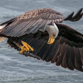 Did I get it? by Doug Chesser - Animals Birds ( douglas chesser, eagle, bald eagle, doug chesser, eagle with fish, bird, fly, flight )