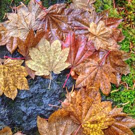 Vine Maple by Becca McKinnon - Instagram & Mobile iPhone ( oregon, fallcolor, fall, toketeefalls, leaves, closeup )