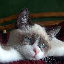 Sleepy Kitty by Marijo Phelps - Animals - Cats Kittens ( snowshoe, cat, kitten, pink nose, blue eyes )