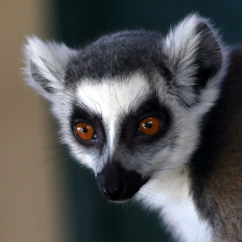 Lemur by Ralph Harvey - Animals Other Mammals ( noahs ark zoo, wildlife, lemur, ralph harvey, animal )