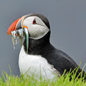 Atlantic puffin -  Lundi