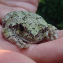 Tetraploid Gray Tree frog
