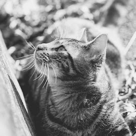 by Amy Kenyon - Animals - Cats Portraits