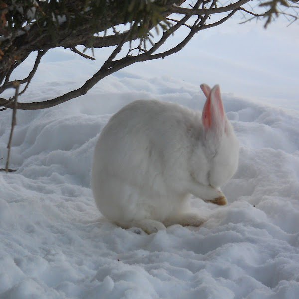 Endangered Rabbits | Project Noah