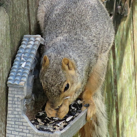 Sunflower Seed Squirrel by Marcia Taylor - Novices Only Wildlife (  )