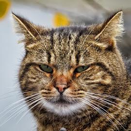 Kristina by Dunja Kolar - Animals - Cats Portraits ( cat, croatia, kristina, zagreb )