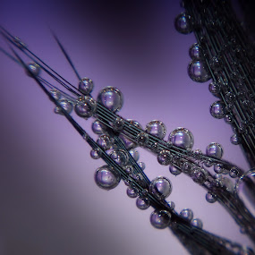 Lavender Light by Liz Crono - Abstract Macro ( macro, drops, lavender, light, feather )