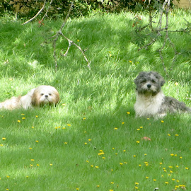 We don't want to come in yet Mum! by Celia Sillars - Animals - Dogs Playing ( canine, dogs, shichon, shihtzu )