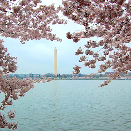 Cherry Blossom Festival in Washington, D.C. by Tyrell Heaton - News & Events US Events ( washington, d.c., cherry blossoms )