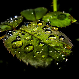 Rose Leaf by Archit Sharma - Abstract Water Drops & Splashes ( water, rose, waterscape, green, leaf, garden, rain )