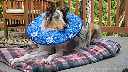 oberon my blue merle collie in elizabethan collar lays down on deck with broken leg