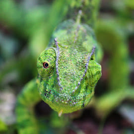 Karma Chameleon. by Heather Steyn - Novices Only Wildlife