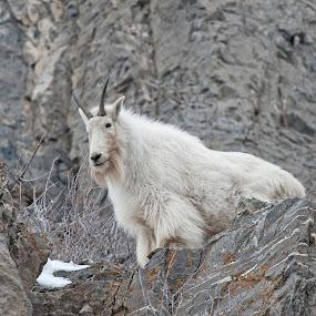 Utah Mountain Goat by Cody Hoagland - Animals Other Mammals ( mountain, goat )