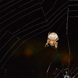 Spider by Mindy Morin - Nature Up Close Webs ( water, flash, camp, lines, spider, web, circle, big, outside )