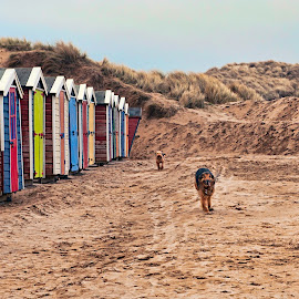 Catch Me if you Can by John Passmore - Animals - Dogs Running ( dogs, dogs chasing, beach huts, devon, dogs running, saunton sands, seaside, beach )