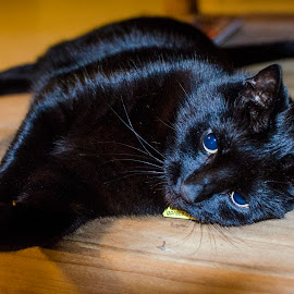 Daydreaming by Chris Bannocks - Animals - Cats Portraits ( car, black shorthair, daydreaming, mr sparkles, black cat )