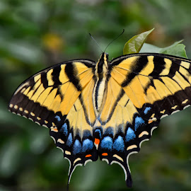 Eastern Tiger Swallowtail Butterfly by Marie Terry - Animals Insects & Spiders ( tiger swallowtail butterfly, butterfly, yellow butterfly, eastern tiger swallowtail butterfly, swallowtail butterfly )