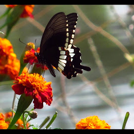 A Study of Butterfly, Part II by Surjya Chattopadhyay - Novices Only Macro ( butterfly, macro, flowers, spring, garden )
