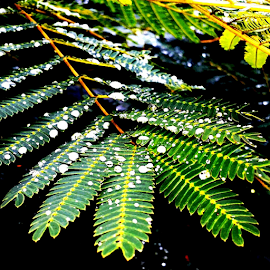 Mimosa After the Rain by Donald Lancaster - Nature Up Close Trees & Bushes