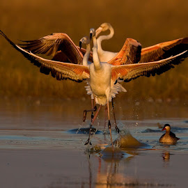 Flamingo Dance by Coerie Ferreira - Animals Birds