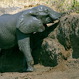 Mud Bath at the Tarangire Spa by John Kelly - Animals Other Mammals ( mud, elephant safari mud, safari, tarangire )