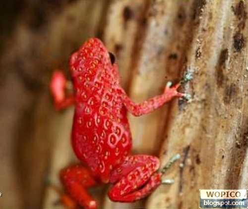 Frog Fruit