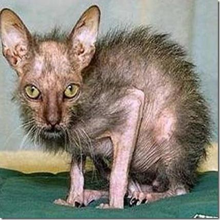 worlds-ugliest-cat