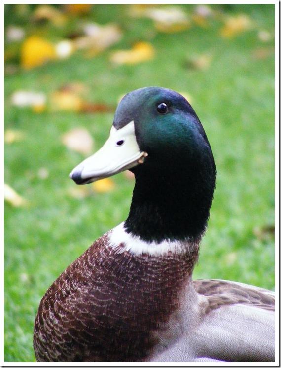 Duck Happy
