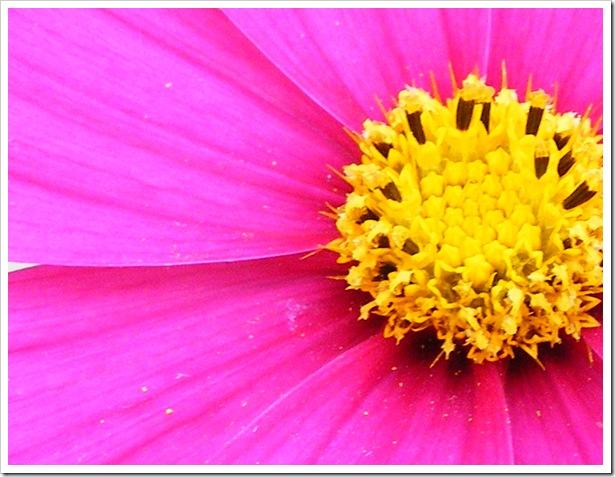 Hot Pink Flower Closeup