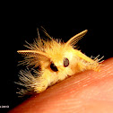 Yellow Tussock Moth