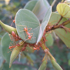 Nesting ! by Darshan Trivedi - Instagram & Mobile Android ( macro, red, beautiful, nest, ants, morning, leaves )