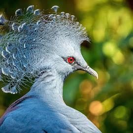 Victoria Crowned Pigeon by Naresh Balaguru - Animals Birds ( pigeon, bird, victoria crowned pigeon )