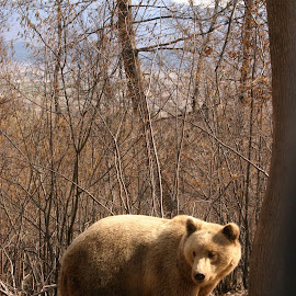 A golden bear in the woods by Horia Morariu - Animals Other ( bear, animals, tree, forest,  )