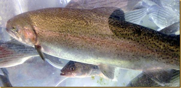 trout 270520081310