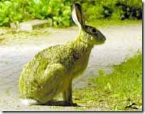 Зелені зайці на грані винищення атеїстами.