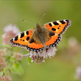 Small Tortoiseshell at Blunsdon yesterday. by Marlene Finlayson - Animals Insects & Spiders