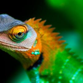 Green Forest Lizard by Buddhika Jayawaredana - Animals Reptiles ( lizard, color, green, sri lanka, close up, eye )