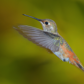 Hello by Dan Pham - Animals Birds ( wing, in fly, motion, humming bird )