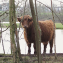 kyloe or Highland Cattle
