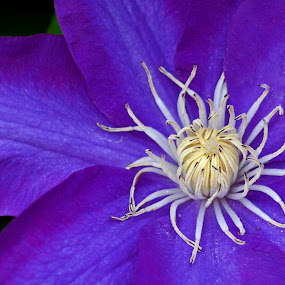 Clem Clematis by Allen Crenshaw - Flowers Single Flower ( color, clematis, spring, blossom, photography, flower )