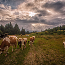 Summer cows by Stanislav Horacek - Landscapes Prairies, Meadows & Fields