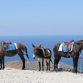 donkey by Neža Kompare - Animals Horses ( see, donkey, horse, santorini )