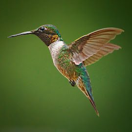 YUP by Roy Walter - Animals Birds ( flight, animals, nature, hummingbird, wildlife, birds, rubythroated )