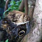 Pale Owl Butterfly
