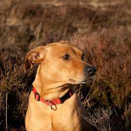 Sandy by Catherine McAlpine - Animals - Dogs Portraits ( sky, grass, blue, sandy, sun )