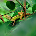 bunglon - Oriental garden lizard