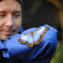 Blue Morhpo Butterfly